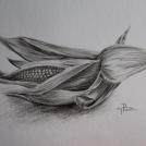 """Kresba kukuřice obyčejnou tužkou - více o této kresbě naleznete v <a href=""""http://malebno.cz/studie-kukurice/"""">tomto příspěvku</a>"""