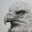 """Překreslená fotografie - kresba orla, více (včetně malované verze) <a href=""""http://malebno.cz/malba-kresba-orla-realisticka-kresba-tuzkou-pokracovani-carkovaneho-stylu/"""">ZDE</a>"""