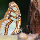 """Motýli - """"Zrcadlení"""""""