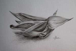 Kresba kukuřice obyčejnou tužkou na bílou čtvrtku.