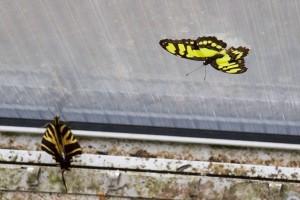 Fata Morgana - motýli na okně